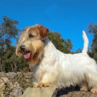 Le Sealyham Terrier