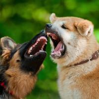 Shiba inu et berger allemand qui se bagarrent