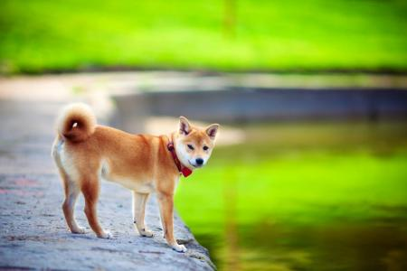 Shiba Inu debout au bord de l'eau
