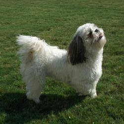 Shih Tzu noir et blanc debout sur l'herbe