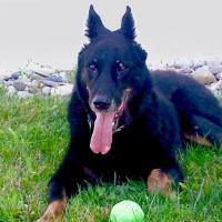 Siska,15 ans, la chienne Beauceron de Sandrine