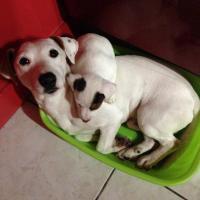 Snoopy et son chiot, le Jack Russel de Philippe