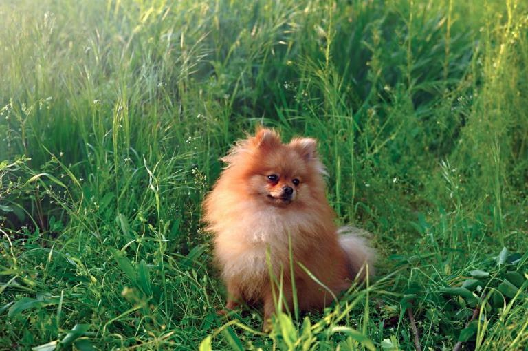 Spitz Allemand assis dans les hautes herbes