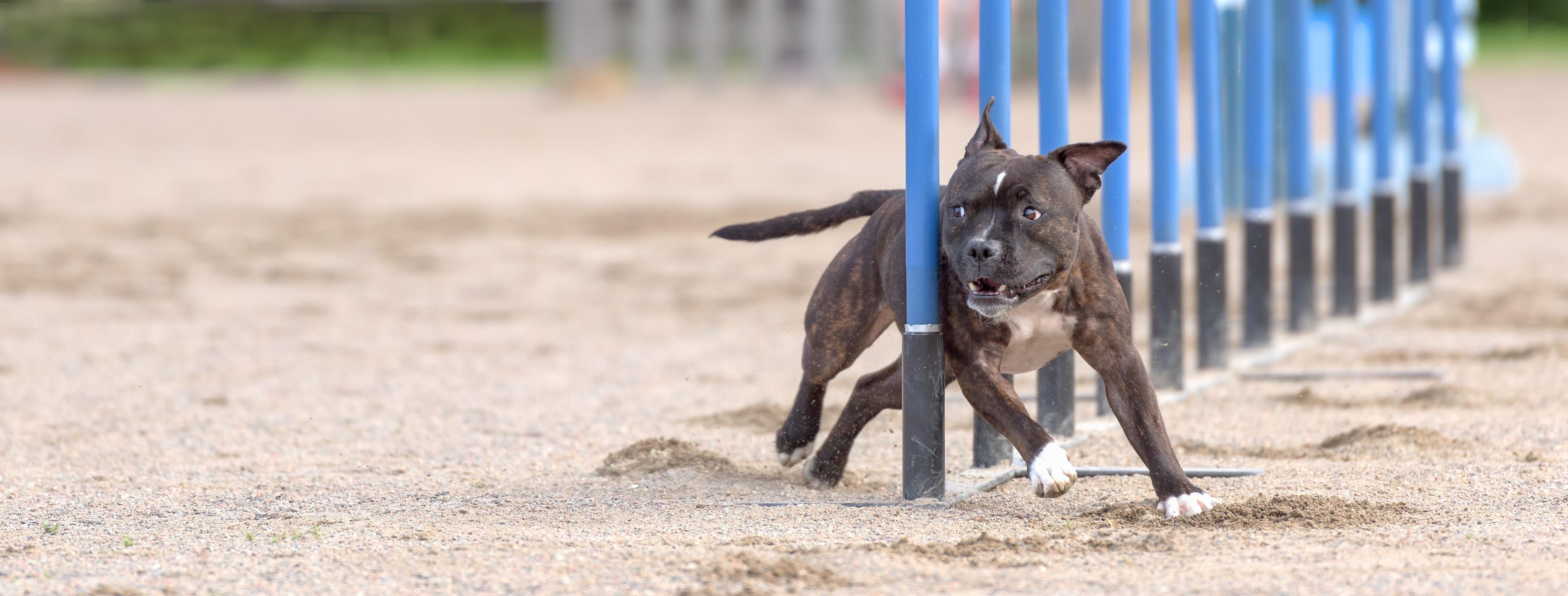 Staffordshire bull terrier qui fait de l'agility