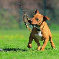 Chiot Staffordshire bull terrier qui joue