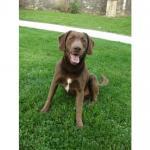 Taz, Labrador Retriever de 11 ans