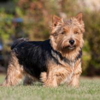 Terrier de Norwich