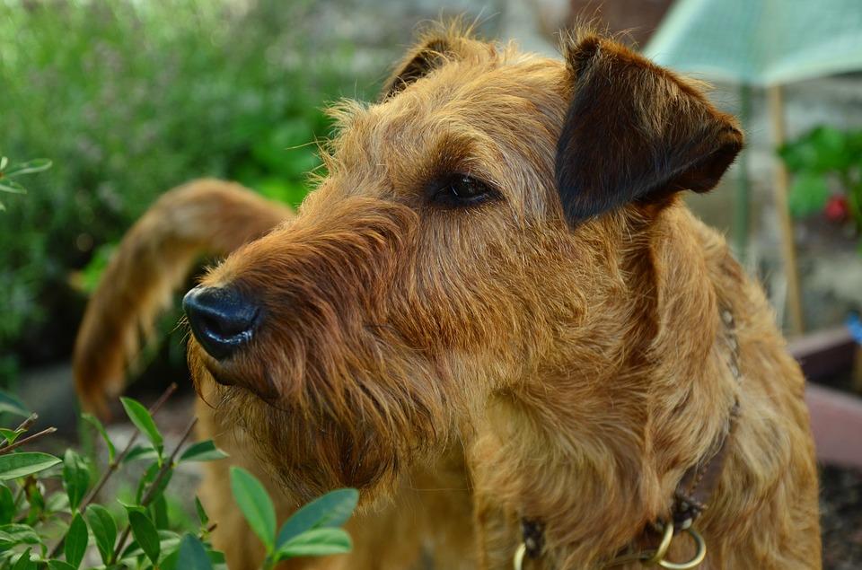 Terrier Irlandais