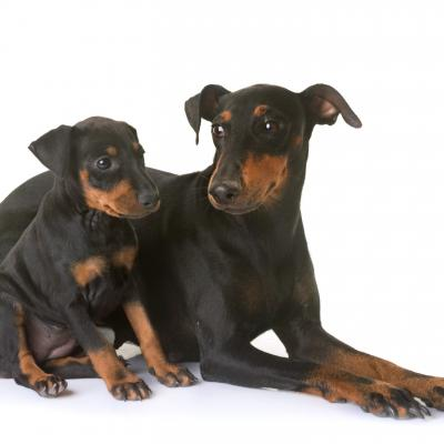 Chiot Terrier Manchester avec sa maman
