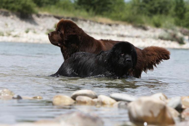 Un Terre-Neuve noir et un marron qui se baignent
