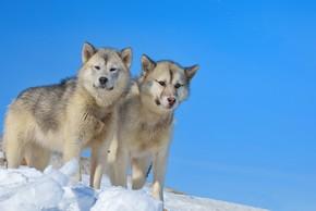 2 chiens du groenland a la montagne