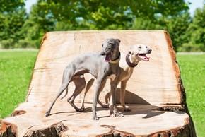 2 chiens greyhound debout sur un tronc d arbre
