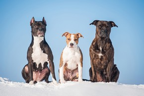 3 americans staffordshire terrier assis sur la neige