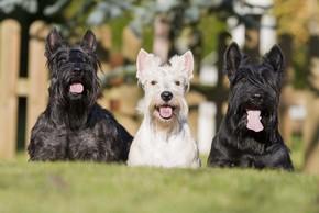 3 terriers ecossais assis sur l herbe