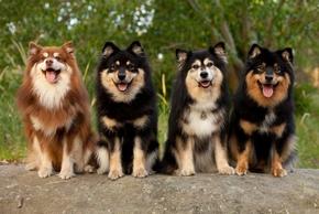 4 chiens finnois de laponie