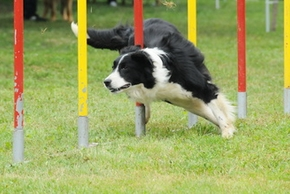 Agility chien