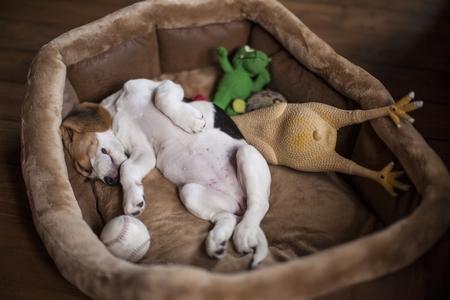 Beagle chiot panier jouets adobestock 144142722