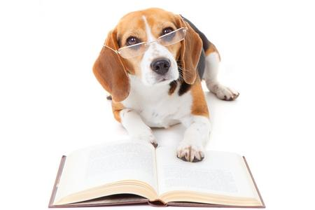 Beagle livre adobestock 49015939