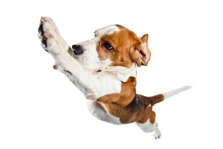 Beagle saute adobestock 75450818