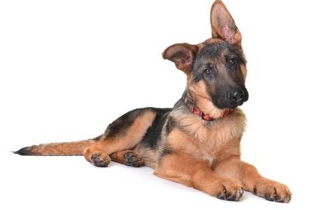 Berger allemand chiot adobestock 37998424