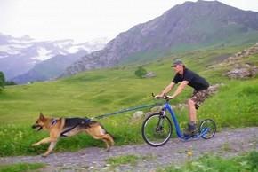 Berger allemand qui fait du cani trottinette avec son maitre