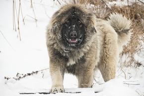 Berger du caucase a la neige