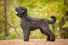 Black russian terrier en foret