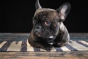 Bouledogue francais couche sur un tapis
