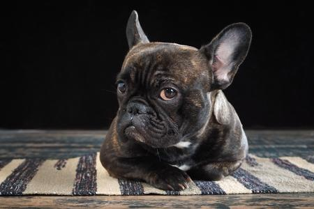 Bouledogue francais regard adobestock 151223937