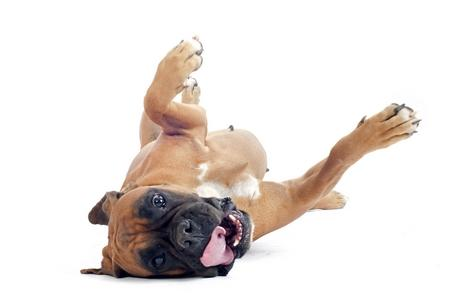 Boxer chiot roule adobestock 58346557