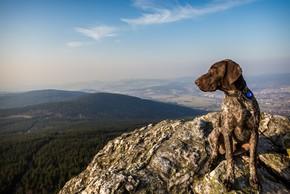Braque francais assis en haut d une montagne