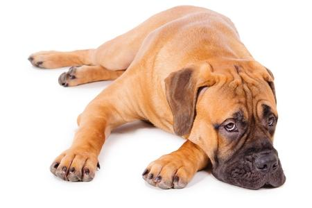 Bullmastiff couche adobestock 48765820