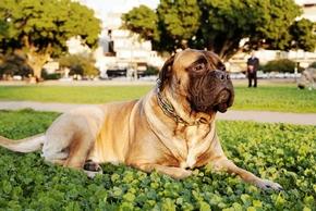 Bullmastiff couche dans un parc