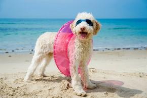 Caniche a la plage avec sa boue