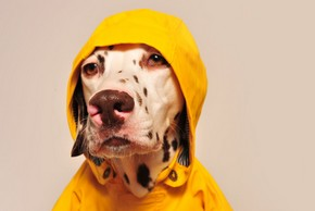 Chien dalmatien avec son impermeable jaune