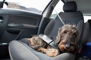 Chien en voiture avec une ceinture de securite