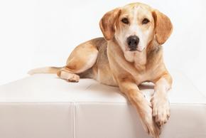 Chien foxhound couche sur un fauteuil