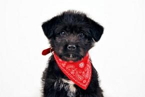 Chiot qui porte un bandana rouge