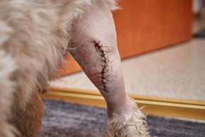 Cicatrice d un chien sur le genoux