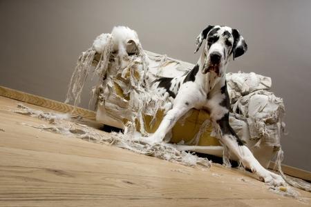 Dogue allemand chiot adobestock 1068743