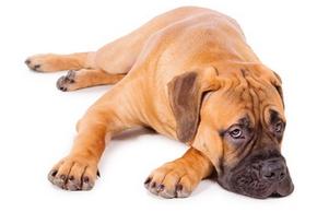 Dresser chien age