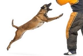 Dresser chien attaque