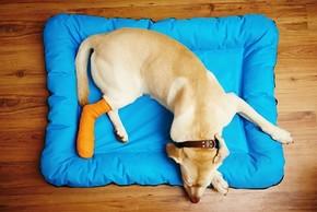 Golden retriever couche avec un bandage
