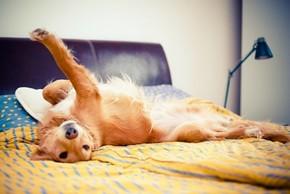 Golden retriever couché sur un lit