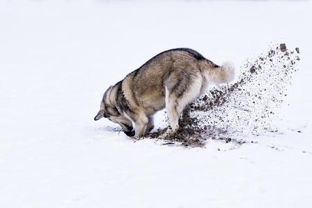 Husky siberien creuse montagne adobestock 126717964