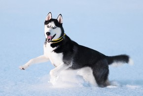 Husky siberien qui court dans la neige
