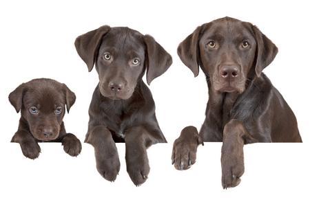 Labrador retriever chiot croissance adobestock 44594380