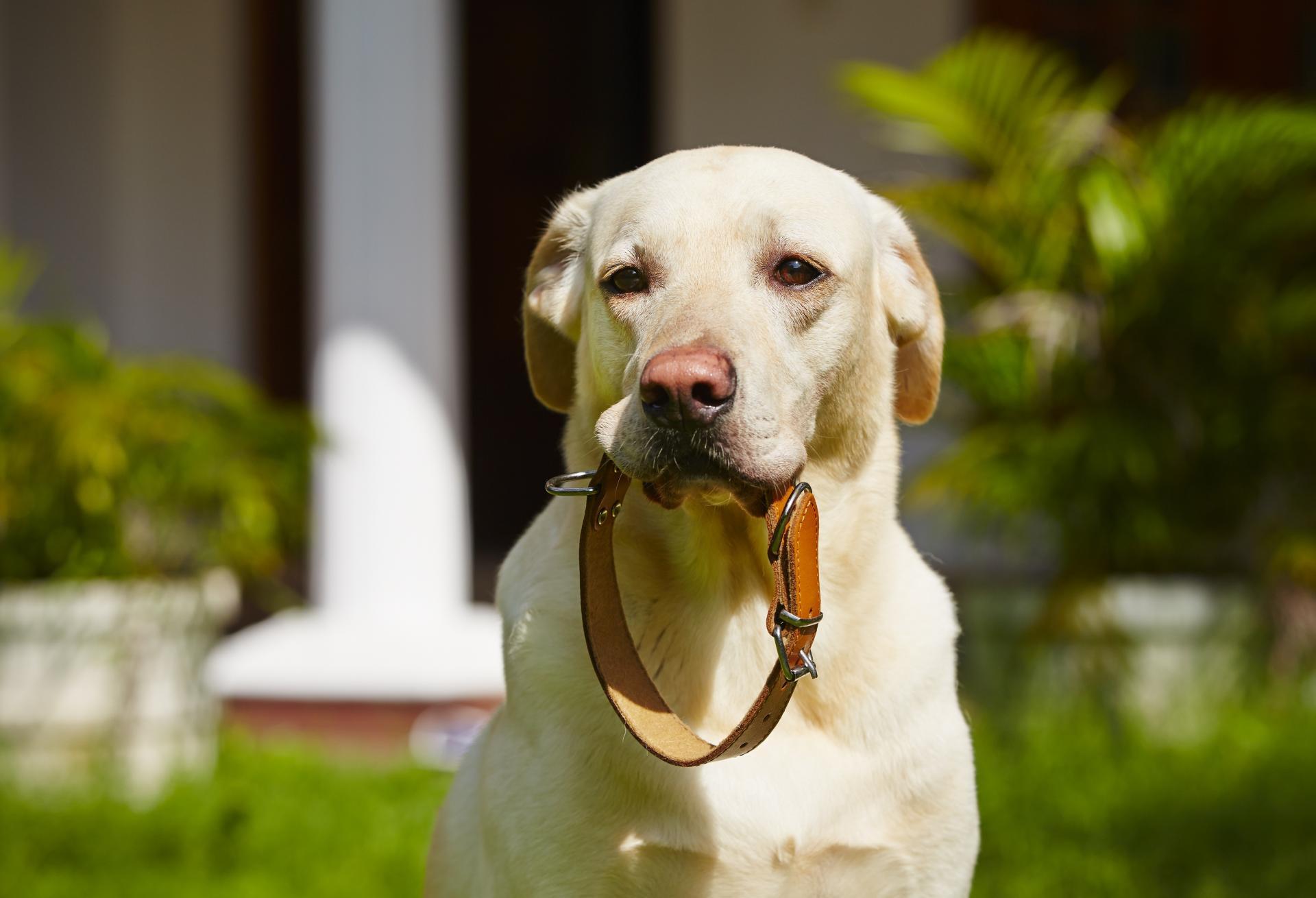 Labrador retriever collier adobestock 64651303