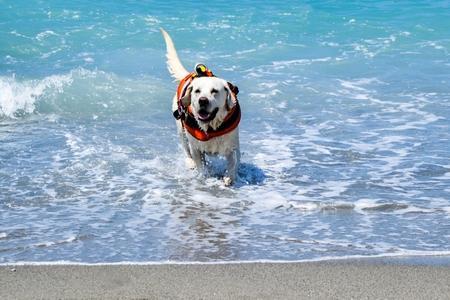 Labrador retriever harnais sauvetage adobestock 133096860