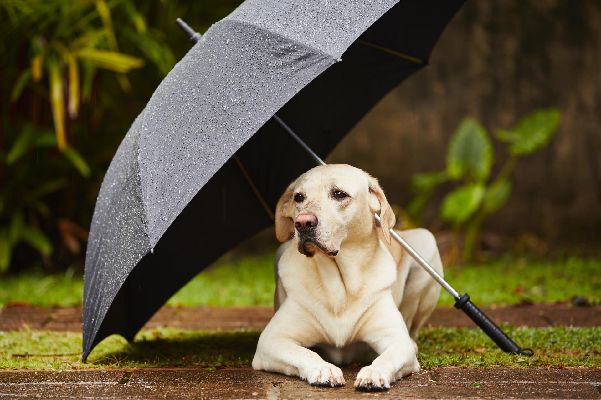 Labrador retriever parapluie adobestock 62765118